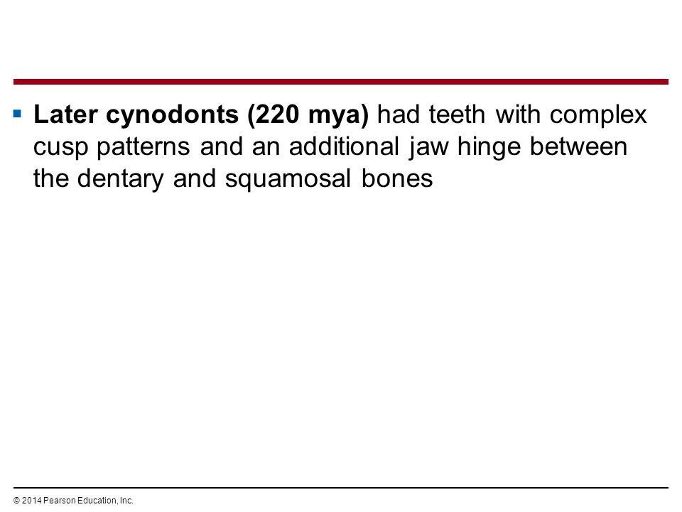 Later cynodonts (220 mya) had teeth with complex cusp patterns and an additional jaw hinge between the dentary and squamosal bones