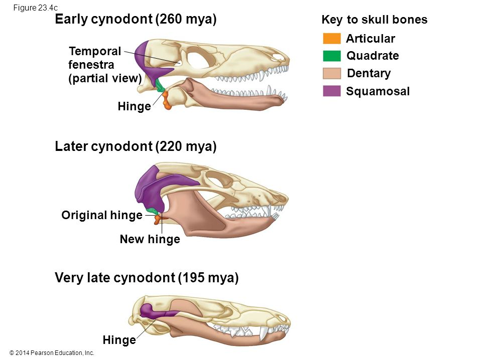 Very late cynodont (195 mya)