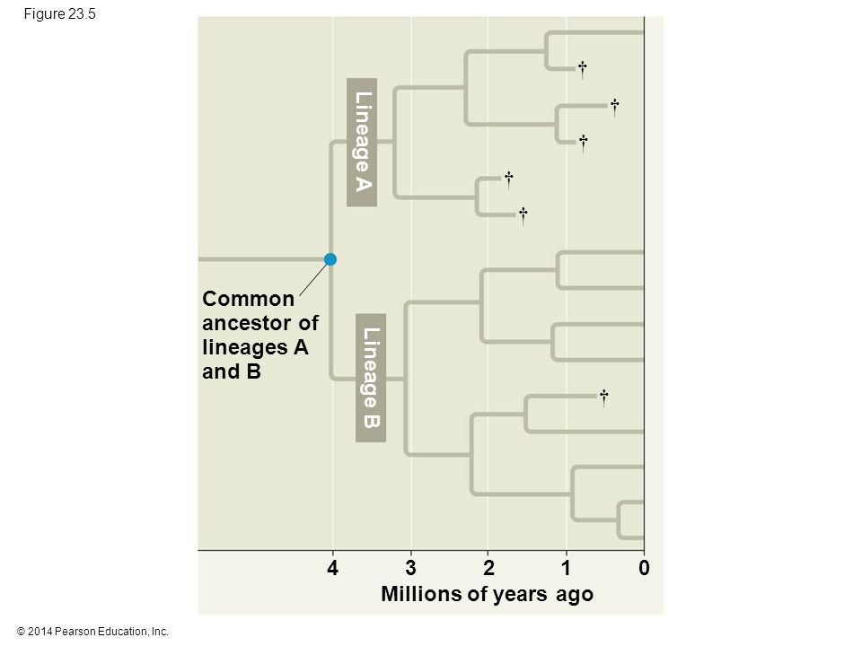 † † Lineage A † † † Common ancestor of lineages A and B Lineage B † 4