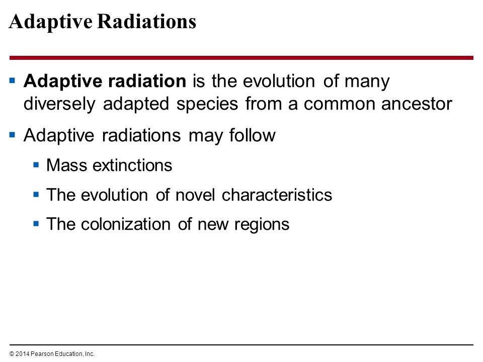 Adaptive Radiations Adaptive radiation is the evolution of many diversely adapted species from a common ancestor.