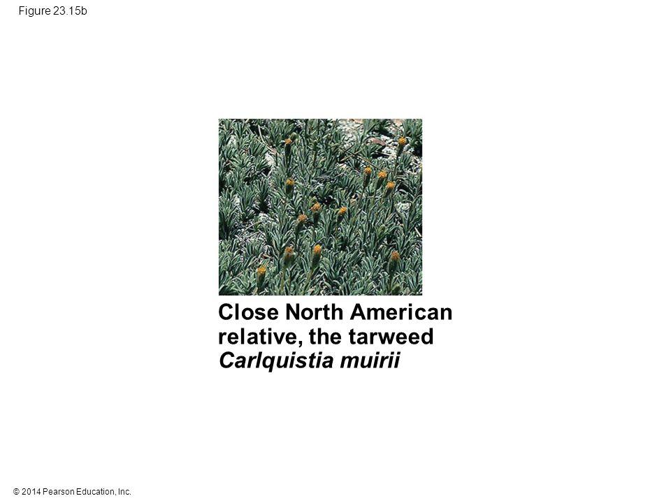 Close North American relative, the tarweed Carlquistia muirii