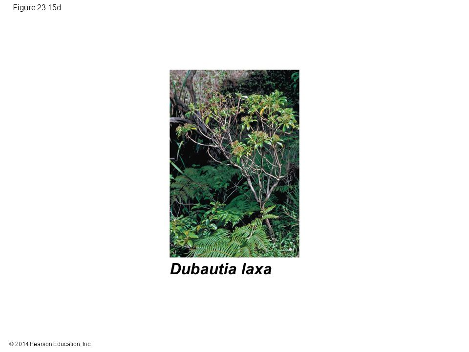Figure 23.15d Figure 23.15d Adaptive radiation on the Hawaiian Islands (part 4: Dubautia laxa) Dubautia laxa.