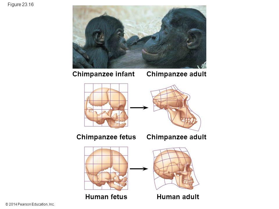 Chimpanzee infant Chimpanzee adult Chimpanzee fetus Chimpanzee adult