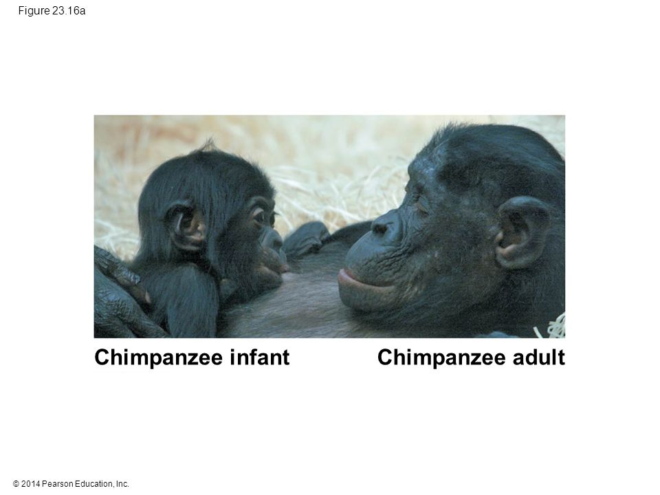 Chimpanzee infant Chimpanzee adult Figure 23.16a