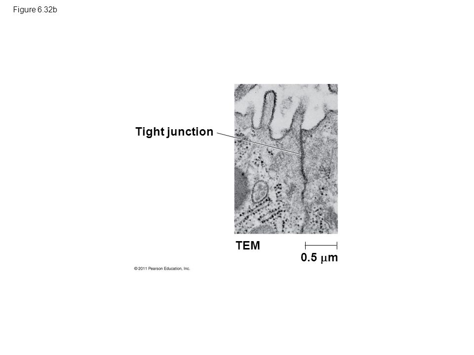 Tight junction TEM 0.5 m Figure 6.32b