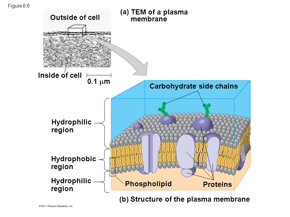 TEM of a plasma membrane Outside of cell