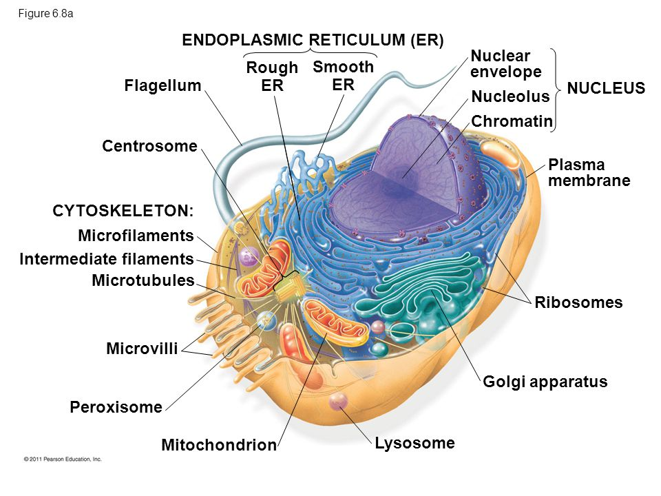 ENDOPLASMIC RETICULUM (ER) Nuclear envelope Rough ER Smooth ER