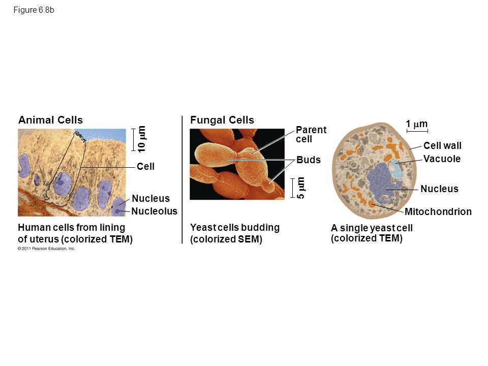 Animal Cells Fungal Cells 1 m Parent cell 10 m Cell wall Buds