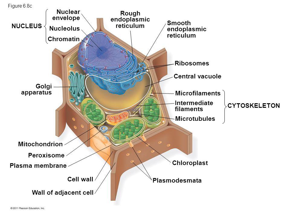 Rough endoplasmic reticulum