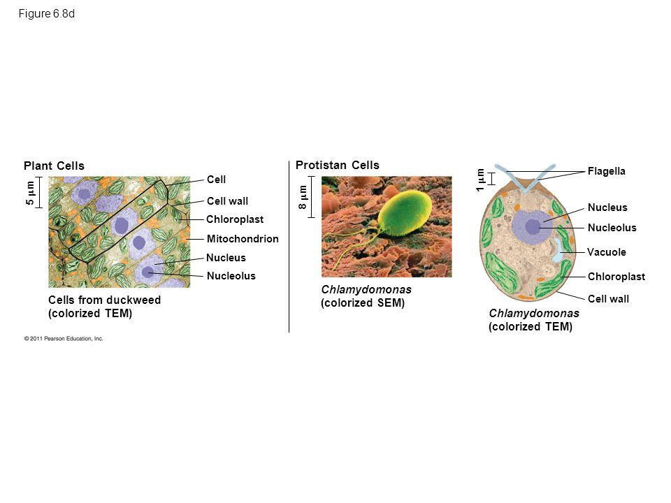 Plant Cells Protistan Cells Figure 6.8d Chlamydomonas (colorized SEM)