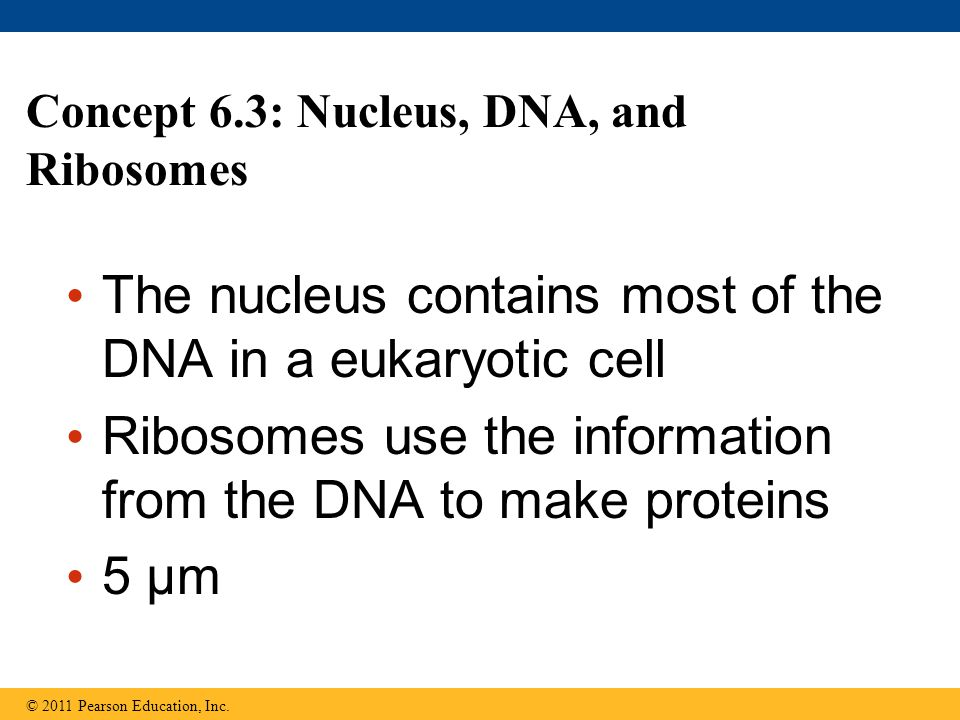 Concept 6.3: Nucleus, DNA, and Ribosomes