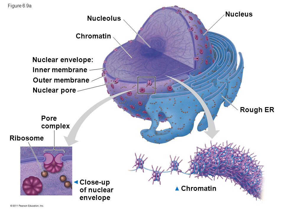 Close-up of nuclear envelope Chromatin