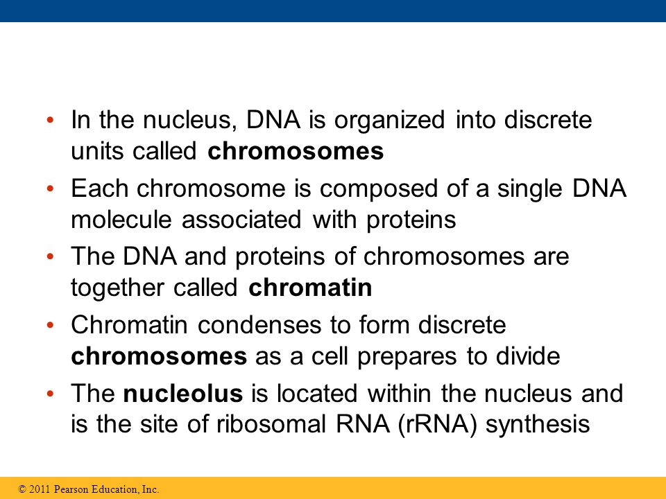 The DNA and proteins of chromosomes are together called chromatin