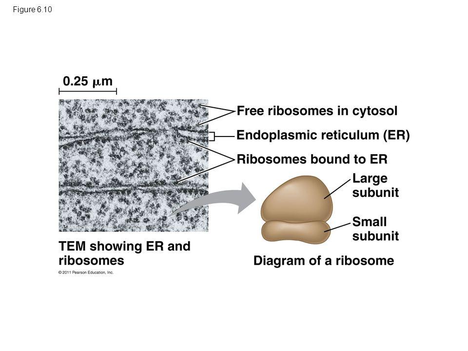 Free ribosomes in cytosol