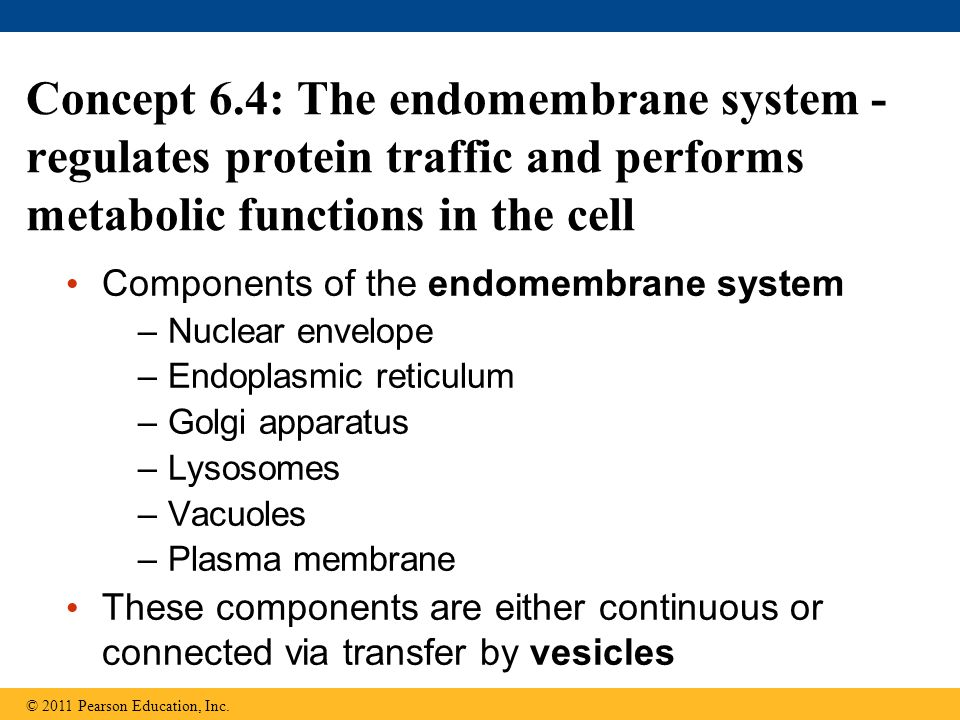 Concept 6.4: The endomembrane system - regulates protein traffic and performs metabolic functions in the cell