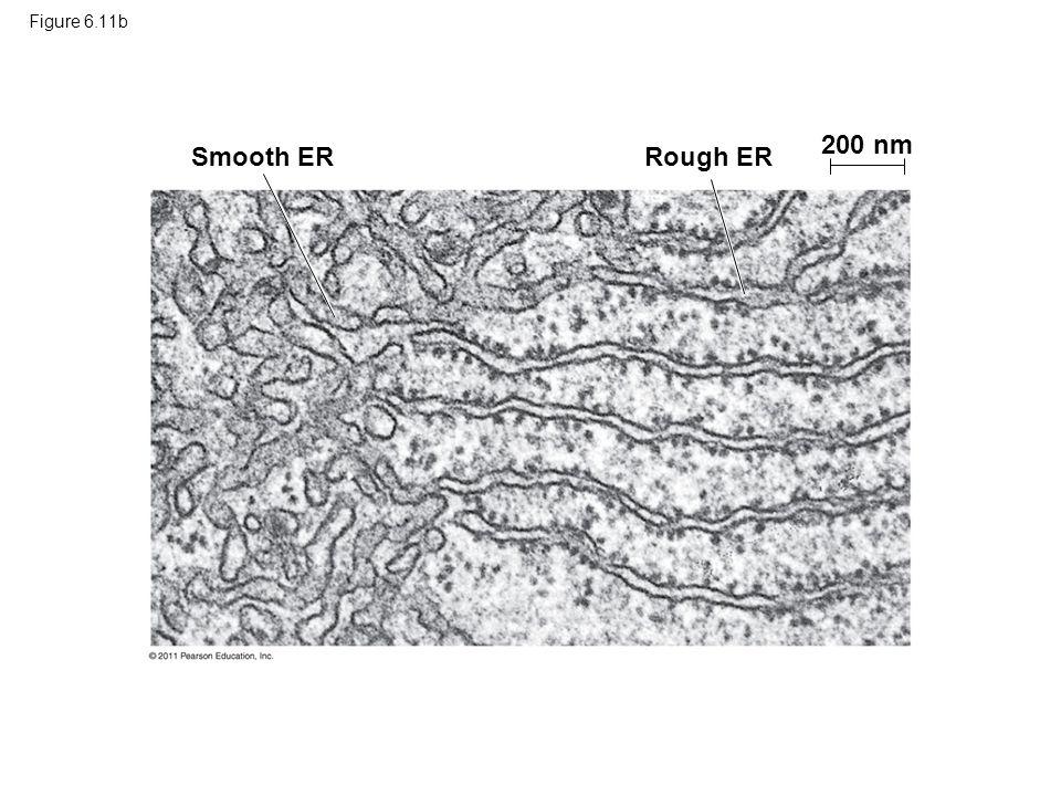 200 nm Smooth ER Rough ER Figure 6.11b