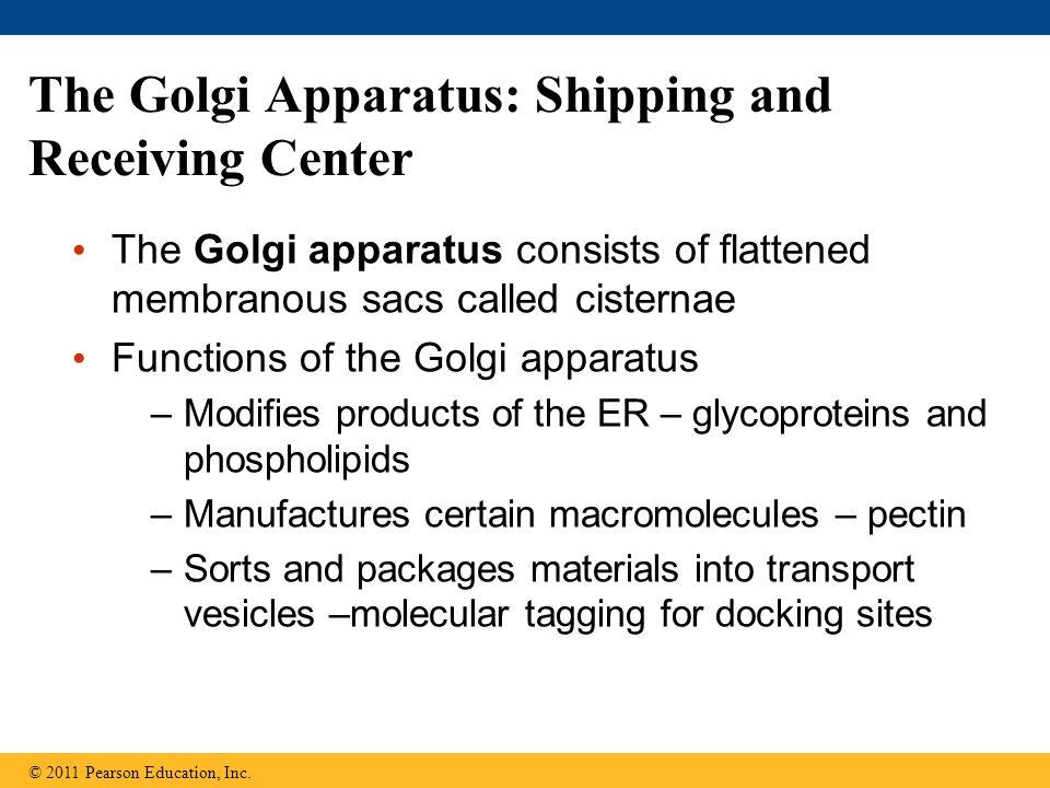 The Golgi Apparatus: Shipping and Receiving Center