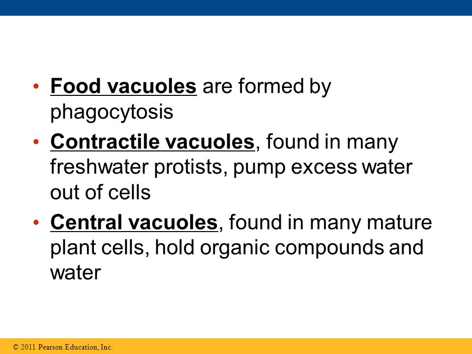 Food vacuoles are formed by phagocytosis