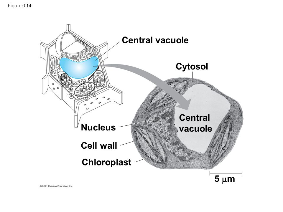Central vacuole Cytosol Central vacuole Nucleus Cell wall Chloroplast