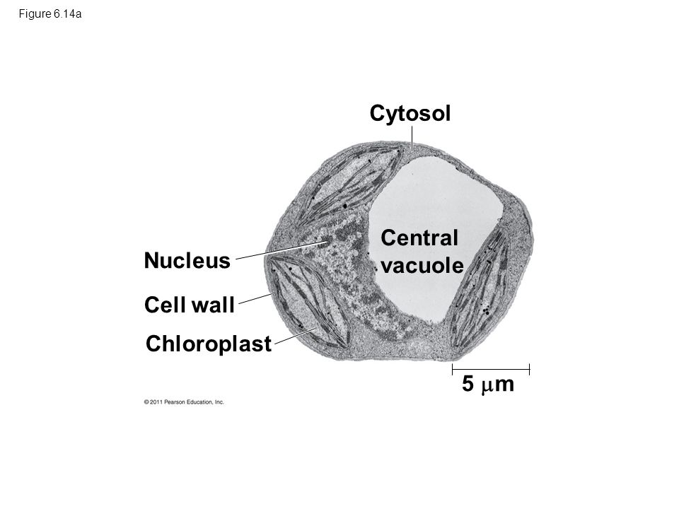 Cytosol Central vacuole Nucleus Cell wall Chloroplast 5 m