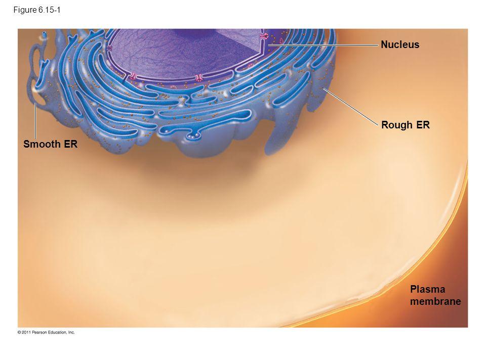 Nucleus Rough ER Smooth ER Plasma membrane Figure 6.15-1