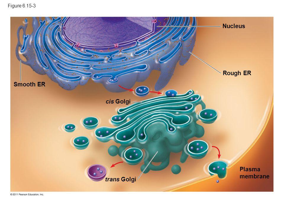 Nucleus Rough ER Smooth ER cis Golgi Plasma membrane trans Golgi
