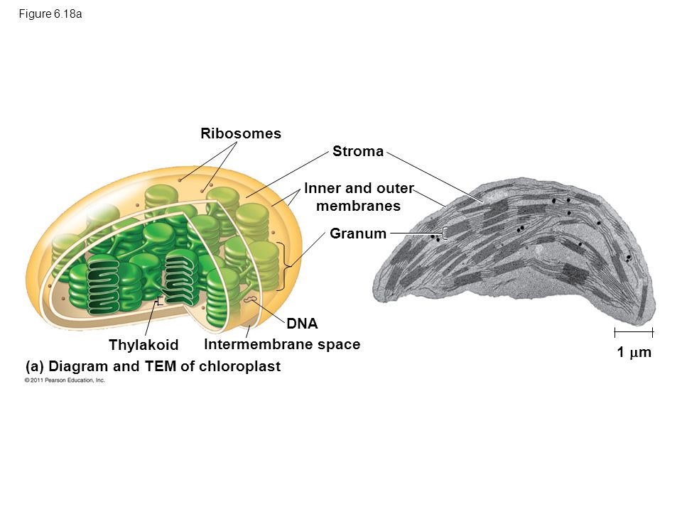 (a) Diagram and TEM of chloroplast