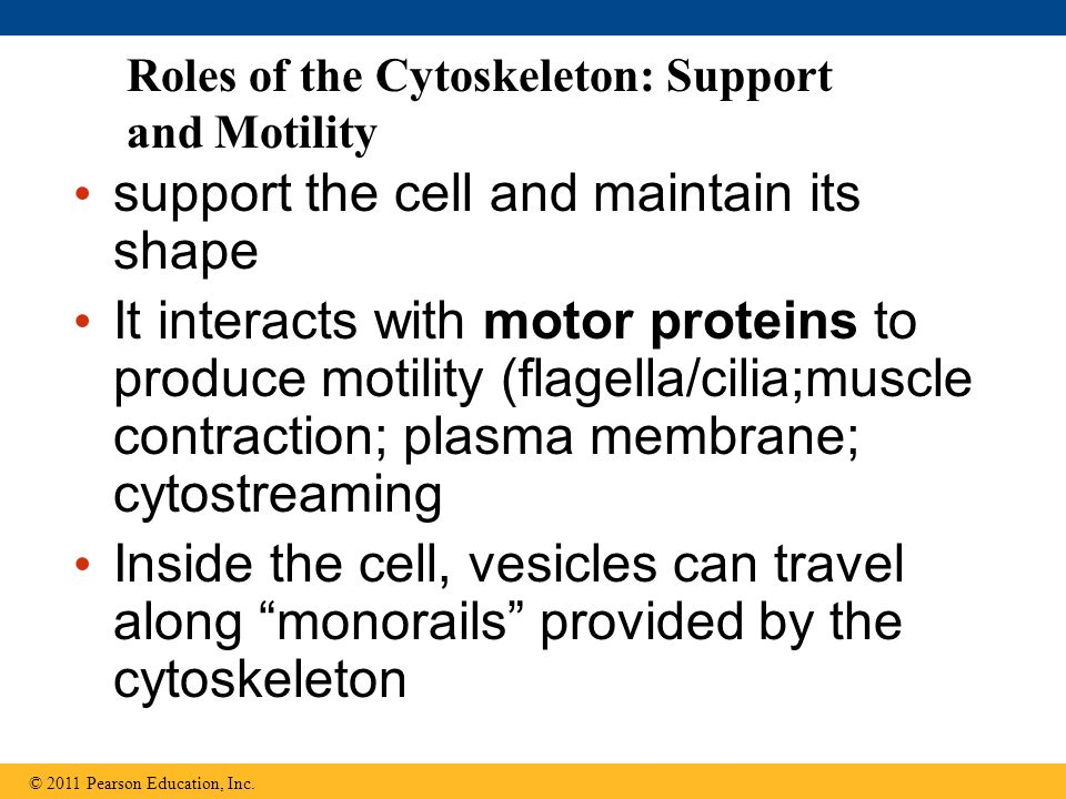 Roles of the Cytoskeleton: Support and Motility