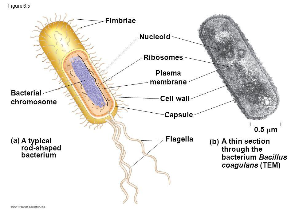 Plasma membrane Cell wall Capsule Flagella