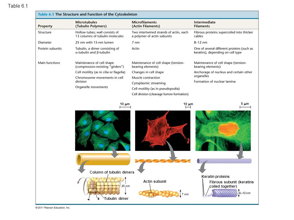 Table 6.1 The Structure and Function of the Cytoskeleton
