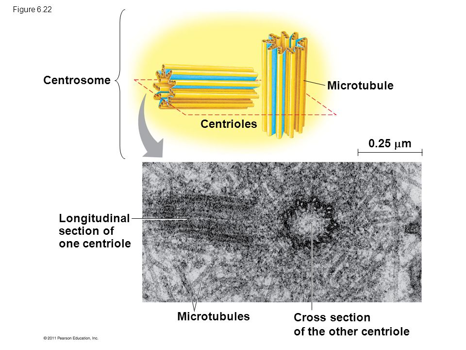 Longitudinal section of one centriole
