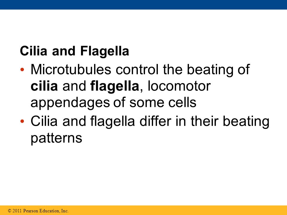 Cilia and flagella differ in their beating patterns