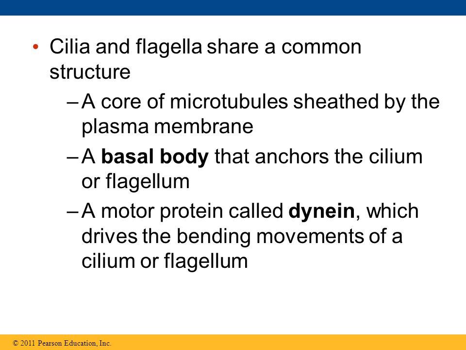 Cilia and flagella share a common structure