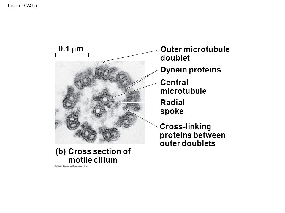 Outer microtubule doublet