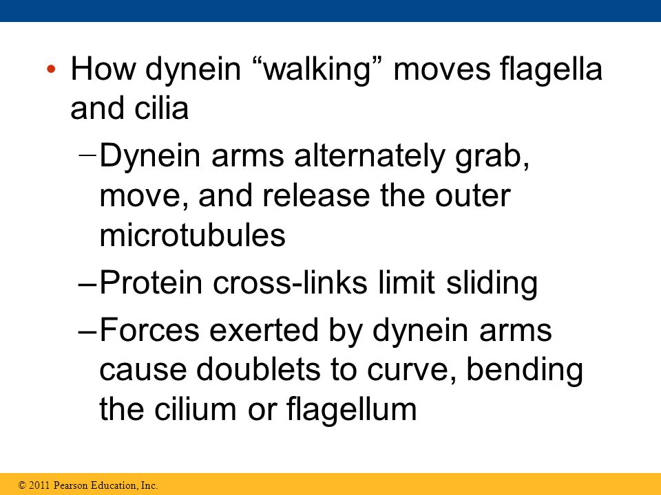 How dynein walking moves flagella and cilia