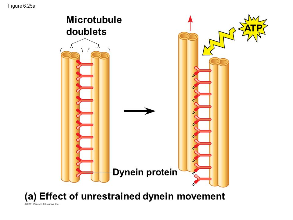 (a) Effect of unrestrained dynein movement