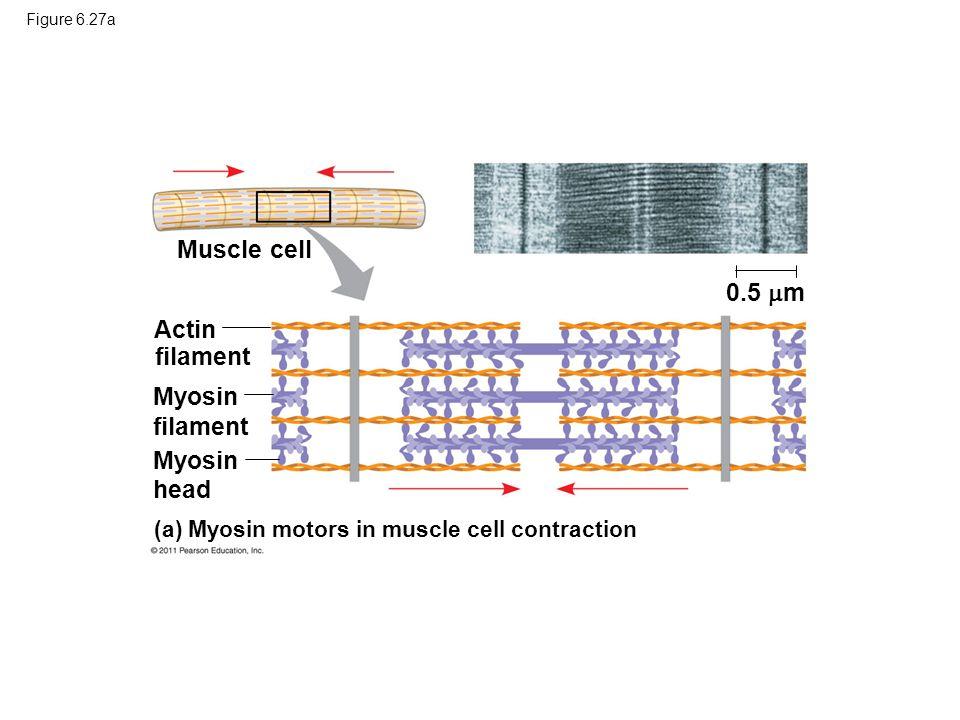 Muscle cell 0.5 m Actin filament Myosin filament Myosin head