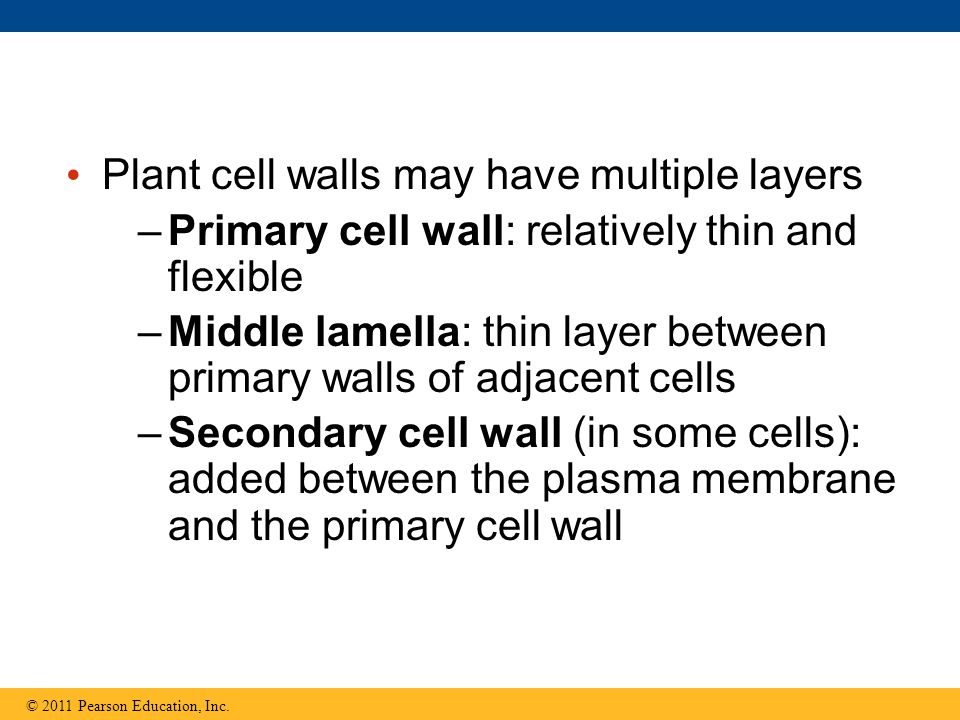 Plant cell walls may have multiple layers