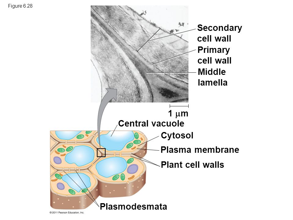 Secondary cell wall Primary cell wall Middle lamella 1 m