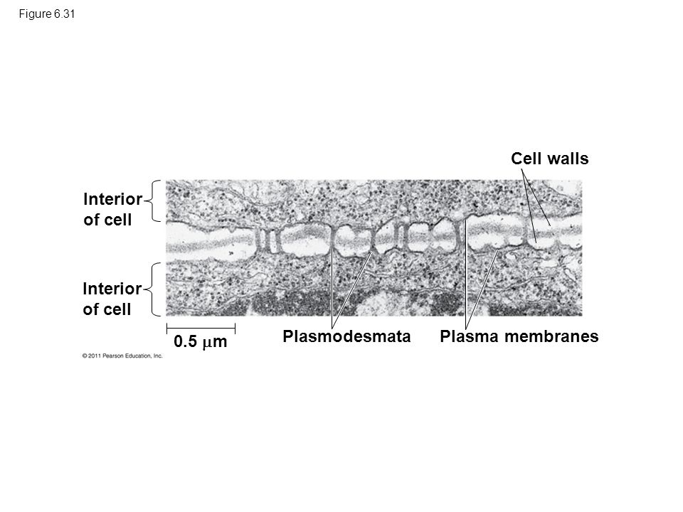 Cell walls Interior of cell Interior of cell Plasmodesmata