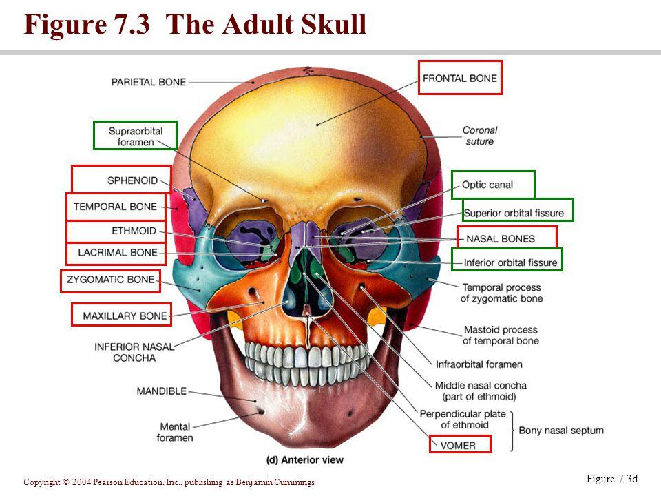 Figure 7.3 The Adult Skull Figure 7.3d