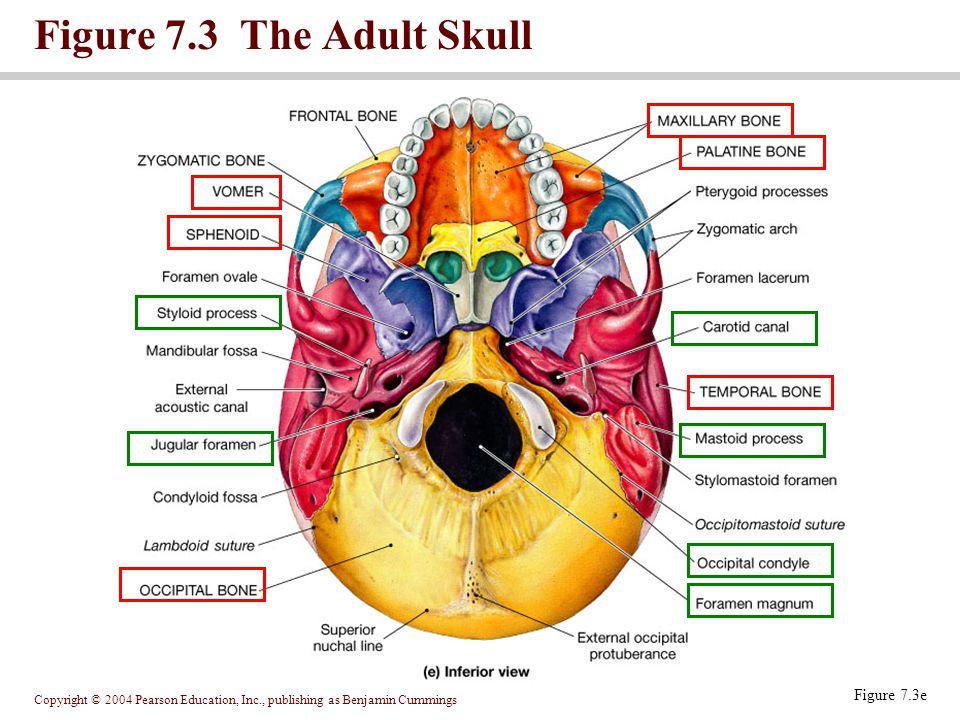 Figure 7.3 The Adult Skull Figure 7.3e