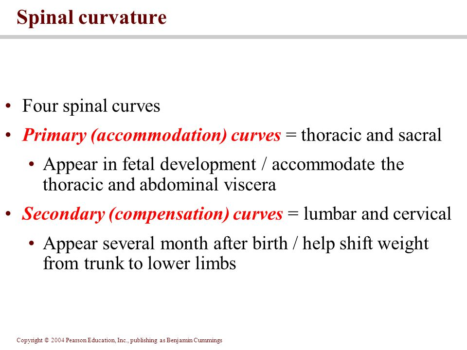 Spinal curvature Four spinal curves