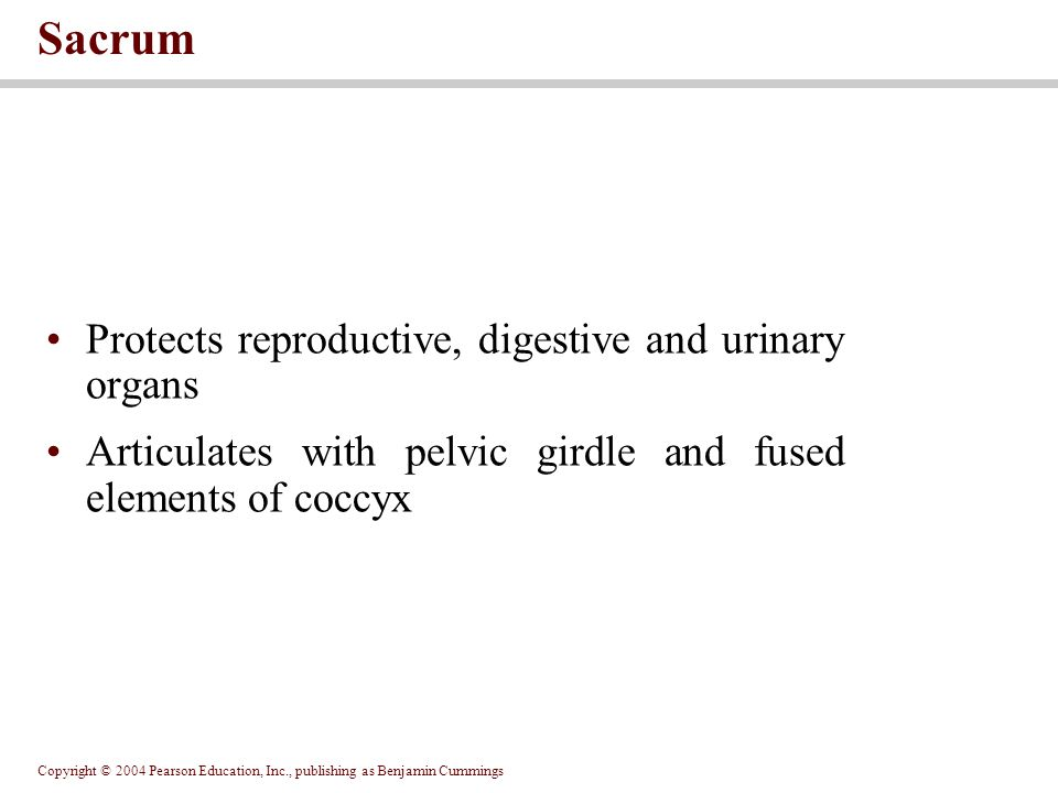 Sacrum Protects reproductive, digestive and urinary organs