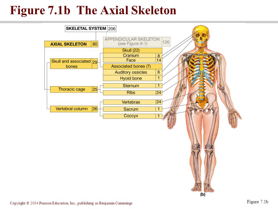 Figure 7.1b The Axial Skeleton