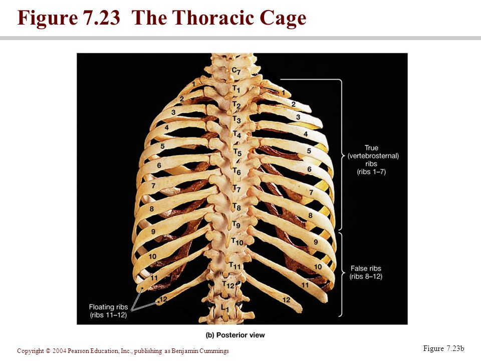Figure 7.23 The Thoracic Cage