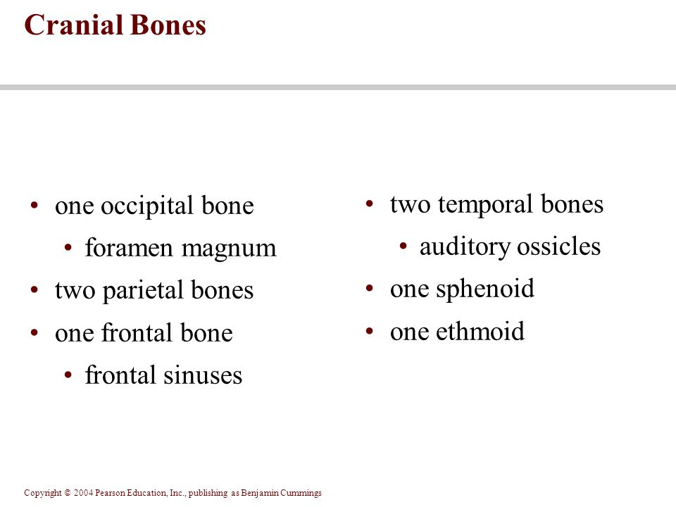 Cranial Bones one occipital bone two temporal bones foramen magnum