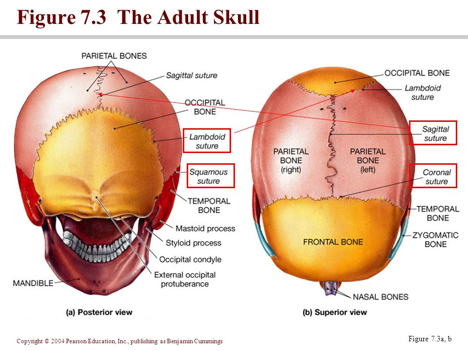 Figure 7.3 The Adult Skull Figure 7.3a, b