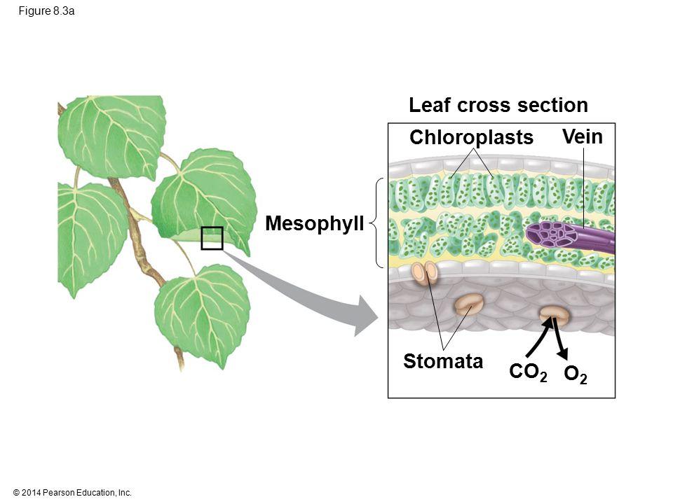 Leaf cross section Chloroplasts Vein Mesophyll Stomata CO2 O2
