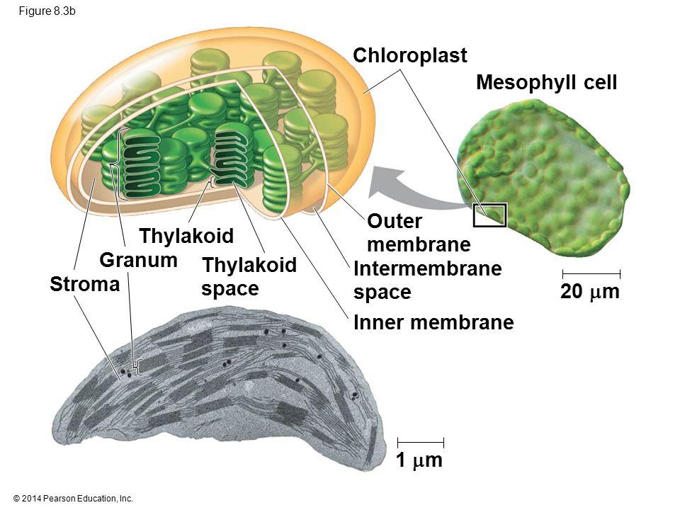 Chloroplast Mesophyll cell Outer Thylakoid membrane Granum Thylakoid